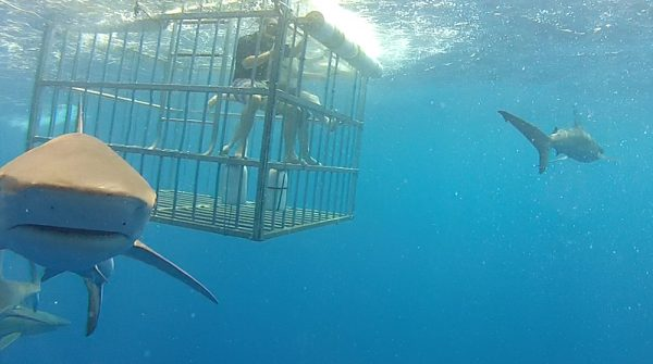 shark cage diving, things to do oahu, ocean activities